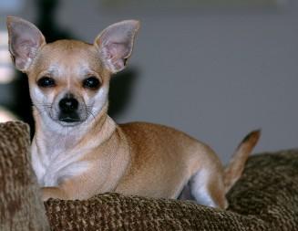 cute-chihuahua-pup